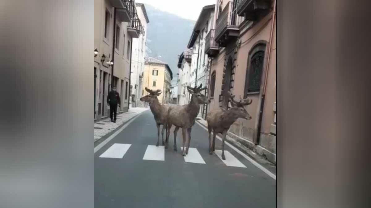 Cervos passeio em ruas desertas na Itália