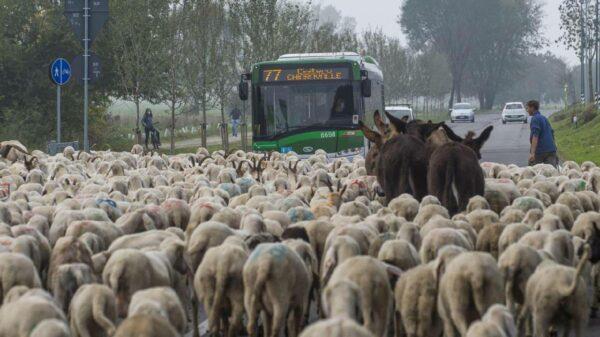 ovelhas italia