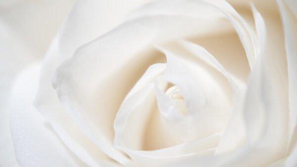 Rosa italiana