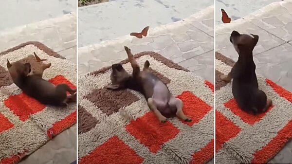 cãozinho e borboleta