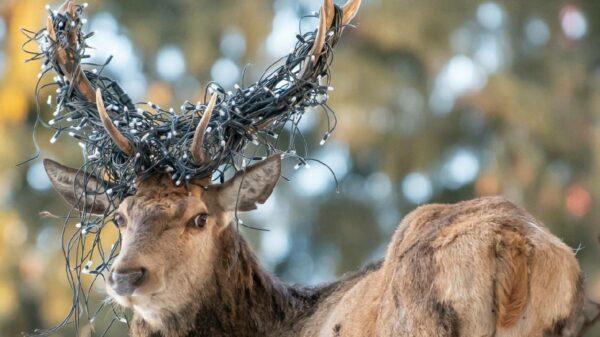 cervo luzes de natal